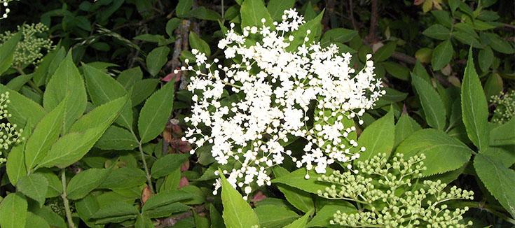 Holunderblüte am Wurmlinger Kapellenberg