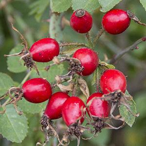 Herbstliche Wildfrüchte – Die Hagebutte