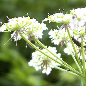 Weiße Doldenblütler – Wie man es nicht machen sollte