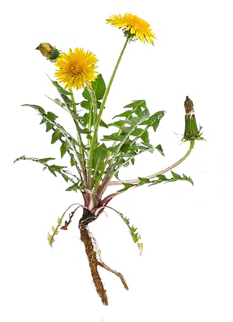 Löwenzahnpflanze mit Wurzel