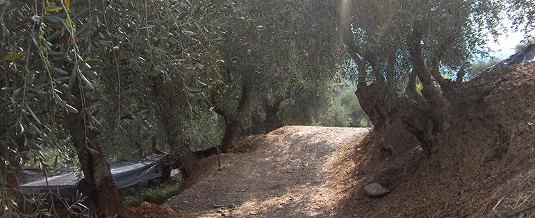 olivenbaum olea europaea wild und frei. Black Bedroom Furniture Sets. Home Design Ideas