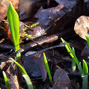 Frühlingskräuter Teil 3 – Bärlauch