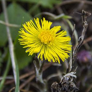 Frühlingskräuter Teil 2 – Huflattich
