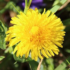Frühlingskräuter Teil 5 – Löwenzahn