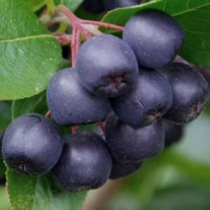 Herbstliche Wildfrüchte – Die Aronia