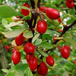 Herbstliche Wildfrüchte – Berberitze