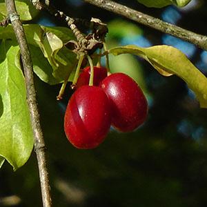 Herbstliche Wildfrüchte – Kornelkirsche