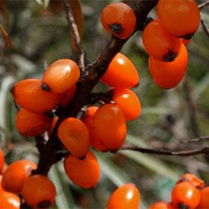 Herbstliche Wildfrüchte – Sanddorn