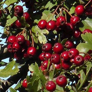Herbstliche Wildfrüchte – Weißdorn
