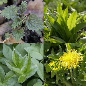 Frühjahrskur mit Wild- und Heilpflanzen Teil 1