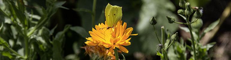 Zitronenfalter auf Ringelblume