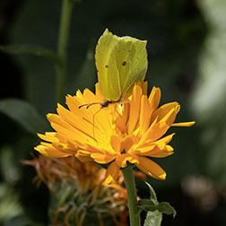 Ringelblumenzeit –  Von Sonnenbraut und Mariengold